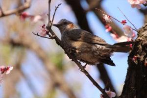 カンザクラと鳥