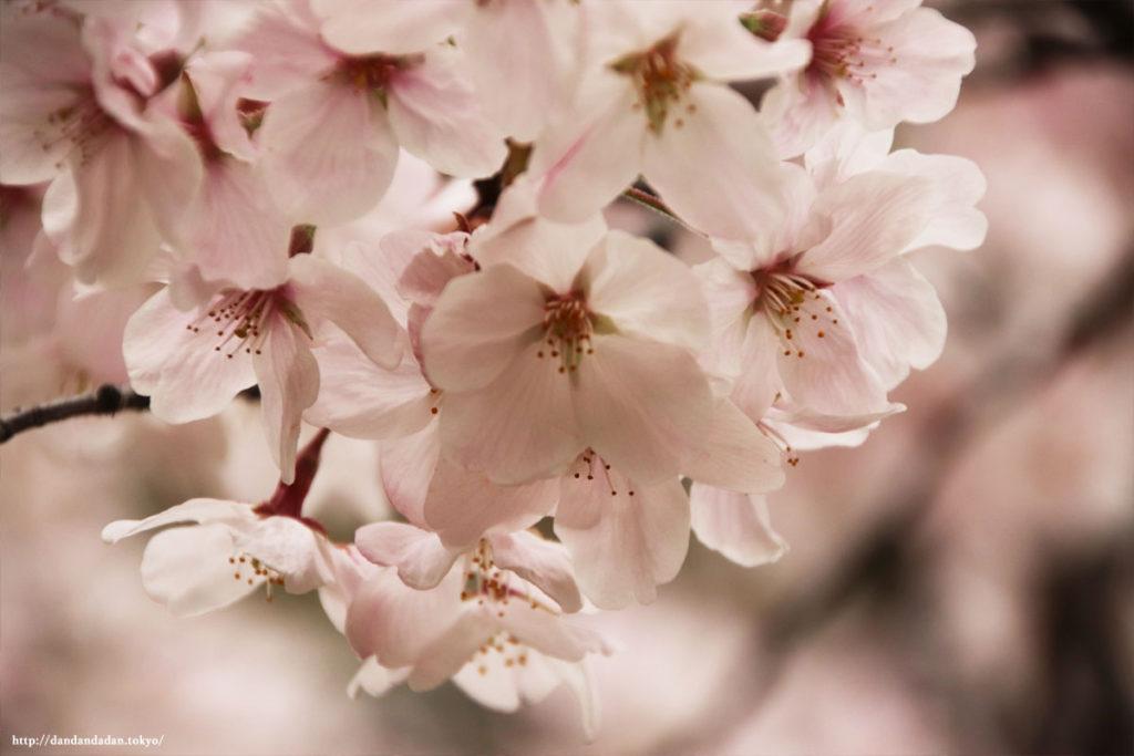 浜離宮恩賜庭園 桜