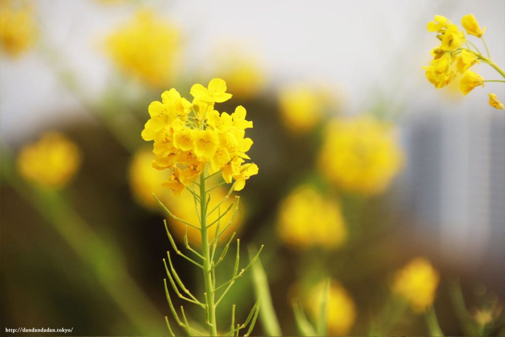 浜離宮恩賜庭園 菜の花