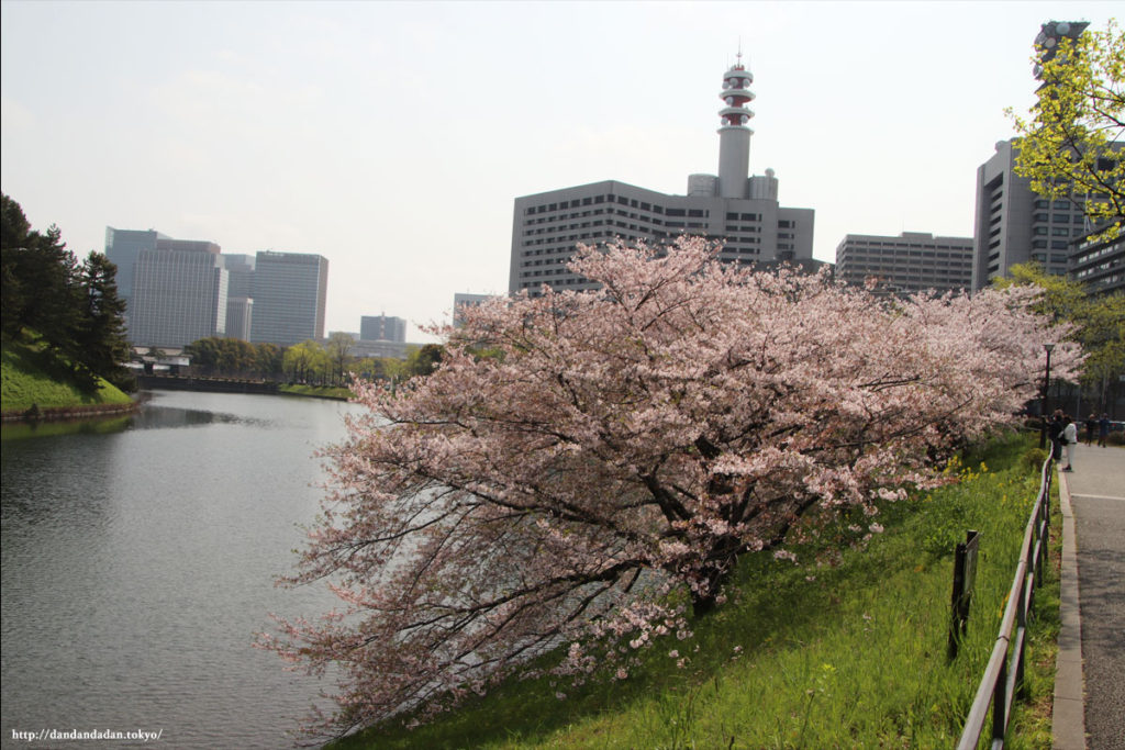 皇居外苑の桜