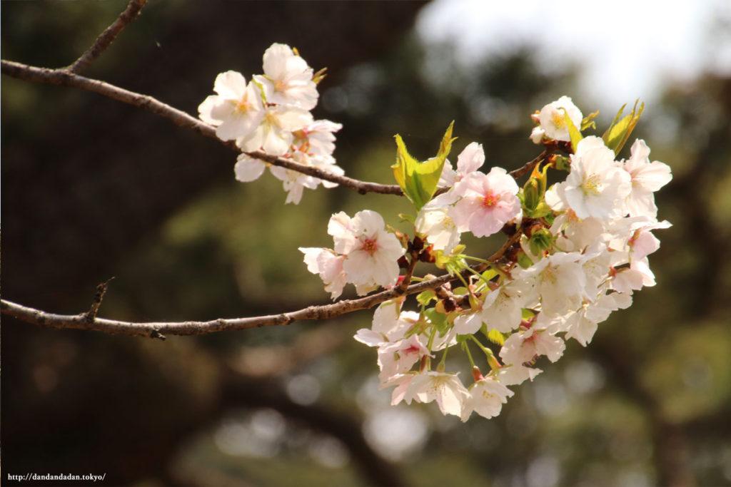 皇居 乾通りの桜