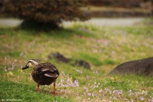 旧芝離宮恩賜庭園 鴨