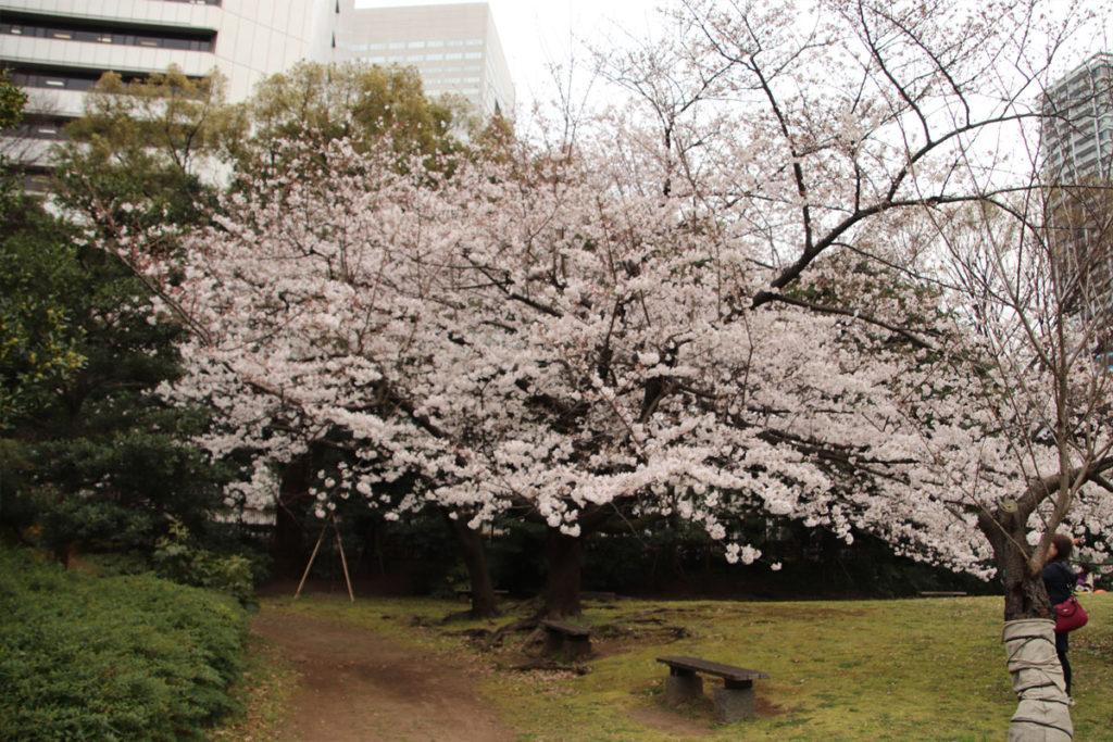 旧芝離宮恩賜庭園 桜