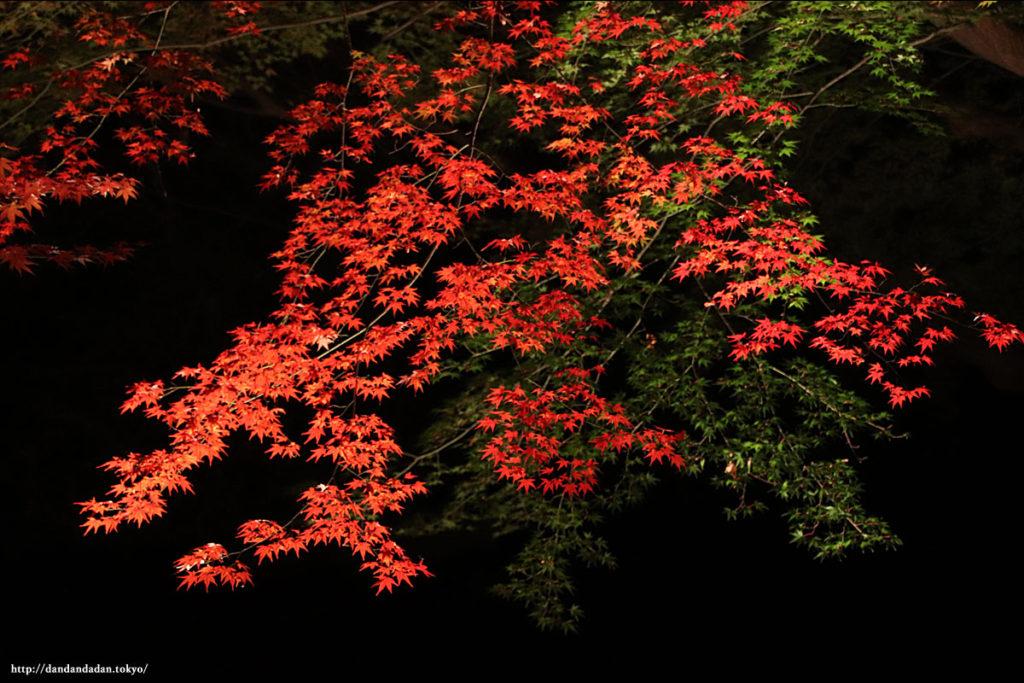 六義園 紅葉ライトアップ