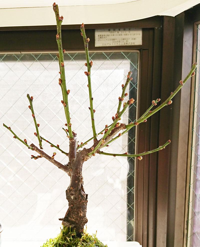 苔玉 梅の木 内裏